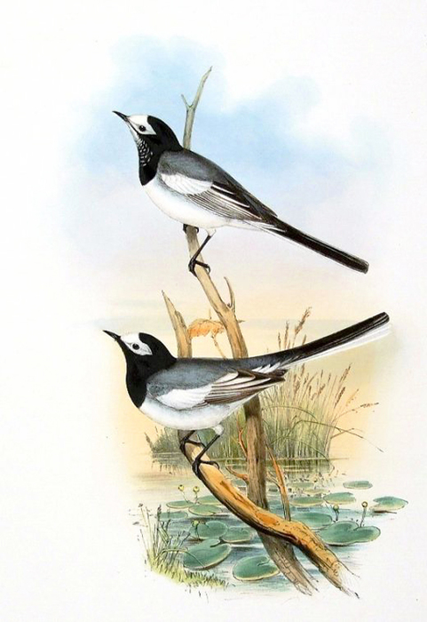 винтажные птицы. картинки для декупажа (15) (481x700, 208Kb)