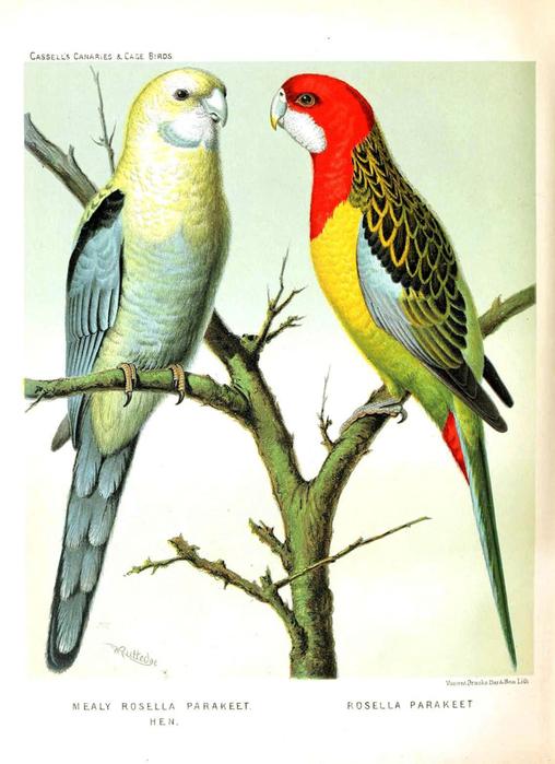 винтажные птицы. картинки для декупажа (21) (508x700, 261Kb)