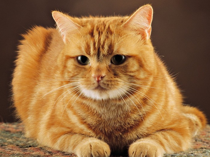 cute-red-cat (700x525, 104Kb)