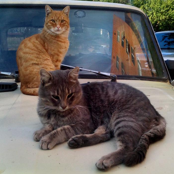 Серый кот и рыжий кот/683232_seriy_i_tigr_800 (700x700, 115Kb)