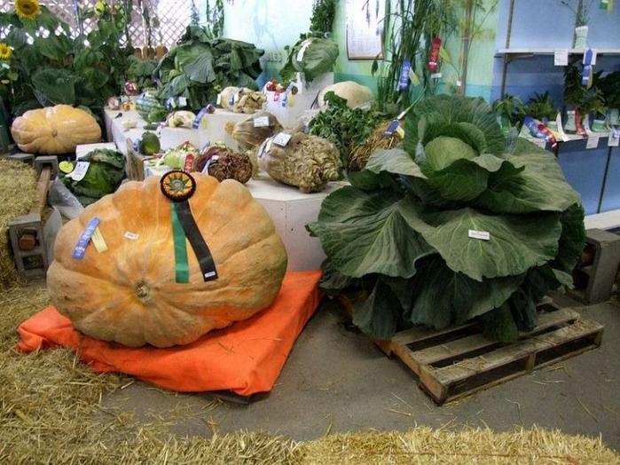 гигантские овощи с аляски 1 (700x524, 425Kb)