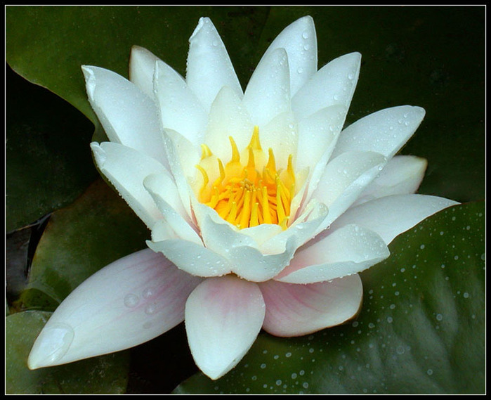 3166706_WATERLILY_615_by_THOM_B_FOTO (800x650, 120Kb)