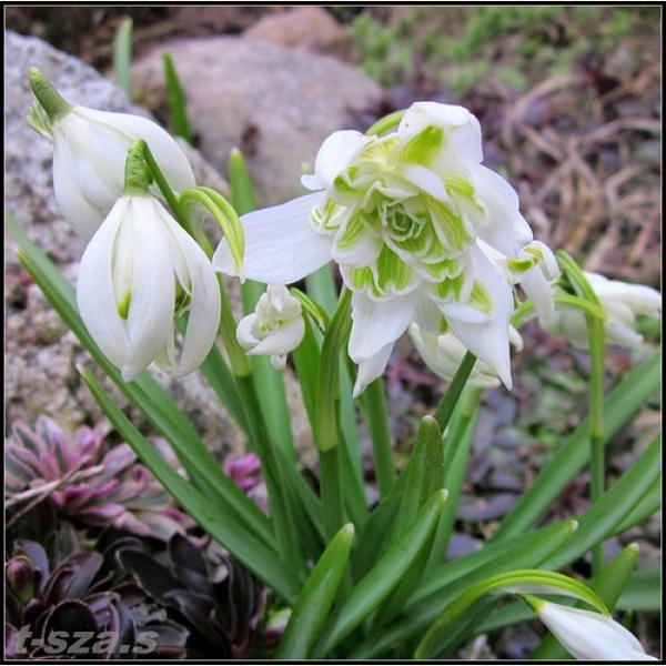 Датур фото цветка