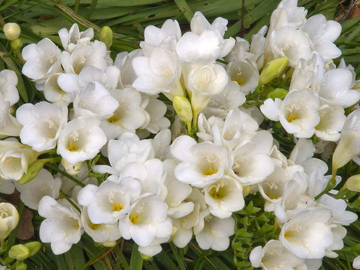freesia (700x525, 61Kb)