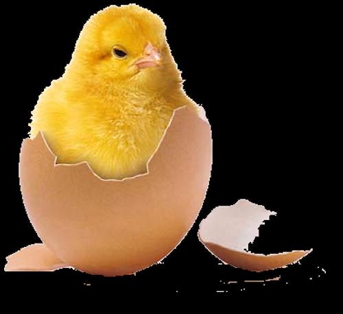 Картинки цыплят из яиц