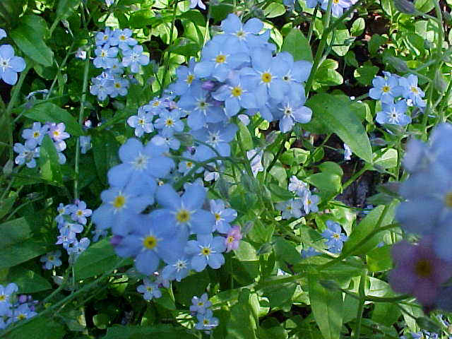 69066817_forgetmenots (640x480, 55Kb)