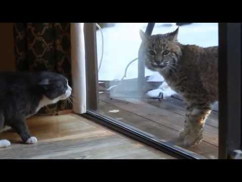 Кот и рысь