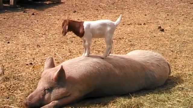 Порно свинья с людьми жесть смотреть быстро качественно видео