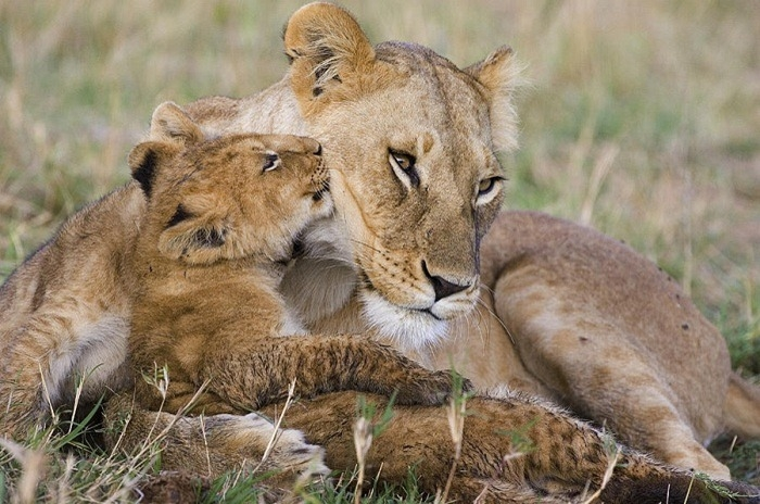 young-lion-cub-nuzzling-mom-suzi-eszterhas (700x464, 259Kb)