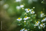 Превью camomile_by_tlo_photography-dbdgu3g (700x466, 260Kb)