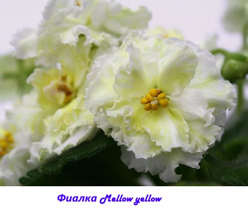 Fialka-Mellow-yellow (500x426, 148Kb)