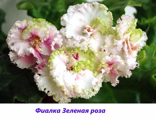 Fialka-Zelenaya-roza (500x384, 177Kb)