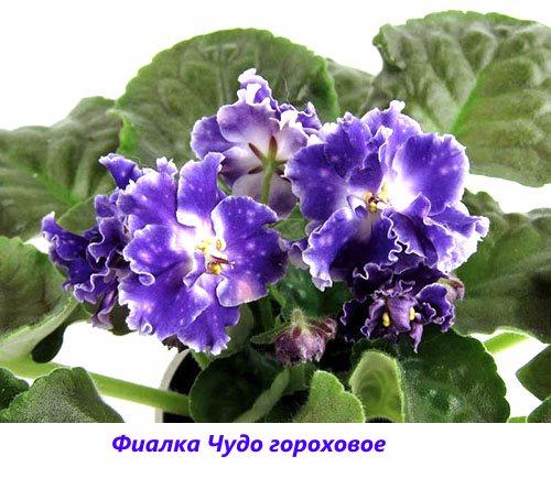 Fialka-CHudo-gorokhovoe (500x434, 221Kb)
