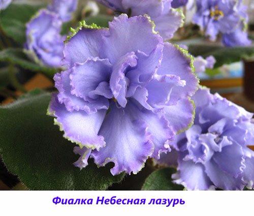 Fialka-Nebesnaya-lazur (500x425, 190Kb)