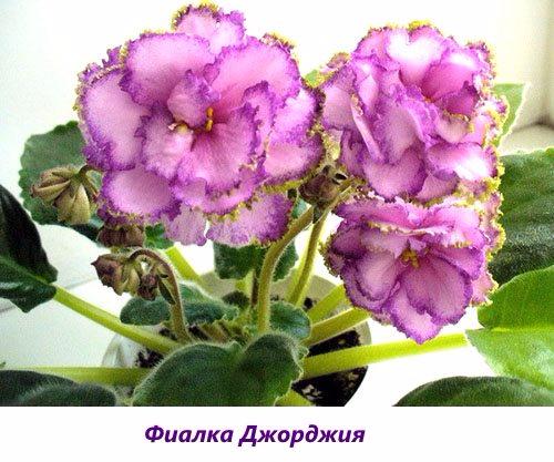 Fialka-Dzhordzhiya1 (500x417, 227Kb)