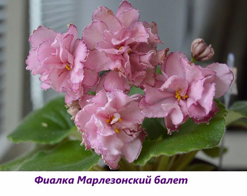 Fialka-Marlezonskiy-balet (500x397, 167Kb)