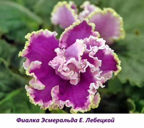 Fialka-YEsmeralda-E.-Lebeckoy (500x444, 206Kb)
