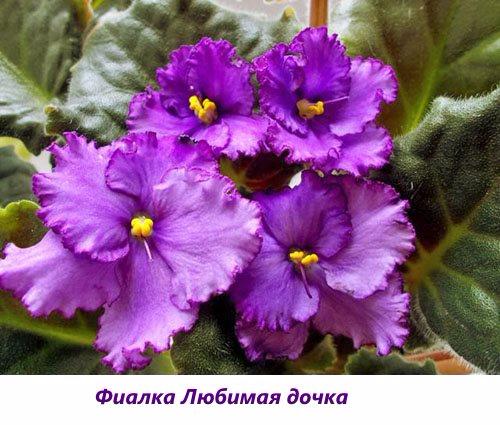 Fialka-Lyubimaya-dochka (500x425, 232Kb)