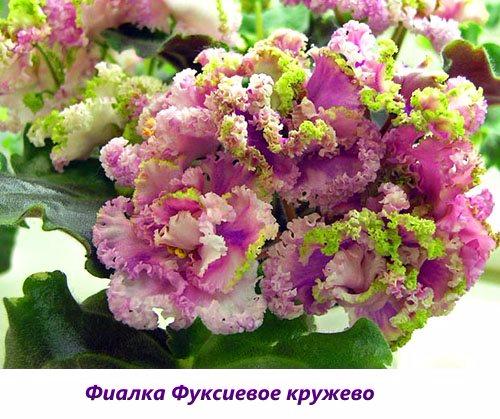 Fialka-Fuksievoe-kruzhevo (500x419, 269Kb)