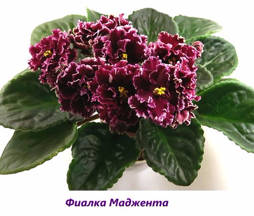 Fialka-Madzhenta (500x425, 200Kb)