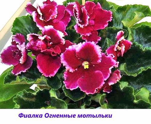 Fialka-Ognennye-motylki (500x411, 260Kb)