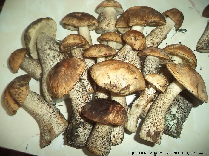 Белые грибы в забайкалье фото