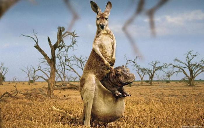 a11c76a9048e Даже после того, как мать научила кенгуренка ходить и прыгать, сумка  продолжает оставаться его домом. При малейшей опасности для малыша мать  подпрыгивает к ...