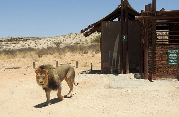 137319940 091817 1138 2 В Африке король зверей не пустил туристов в туалет