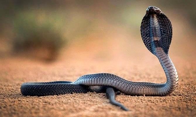 кобра чем питается