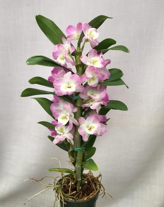 Орхидея дендробиум и фаленопсис уход в домашних условиях 76