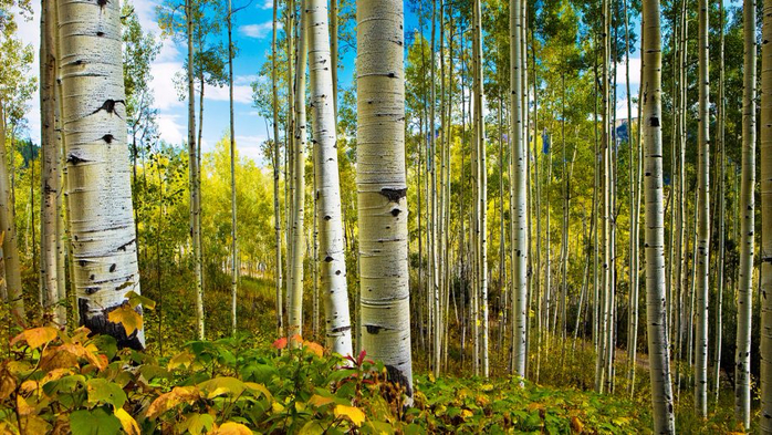 Aspens-and-Spring-Deciduous-Tree-Trees-Nature-Landscape-Hd-Wallpaper-for-Desktop-1920x1080-915x515 (700x393, 481Kb)