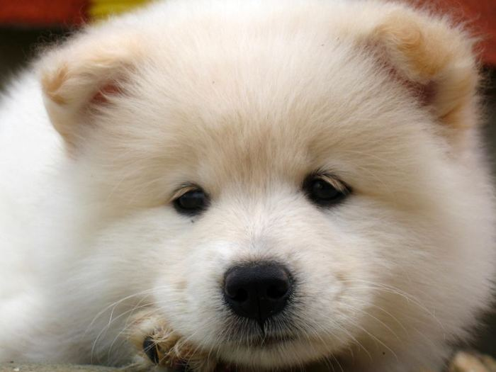 Samoyed_1 (700x525, 37Kb)