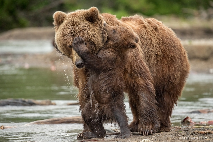 Mama-bear-teaches-cubs-to-fish-01 (700x466, 254Kb)