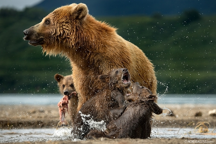 Mama-bear-teaches-cubs-to-fish-08 (700x466, 269Kb)