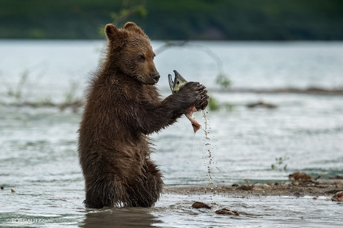 Mama-bear-teaches-cubs-to-fish-07 (700x466, 207Kb)