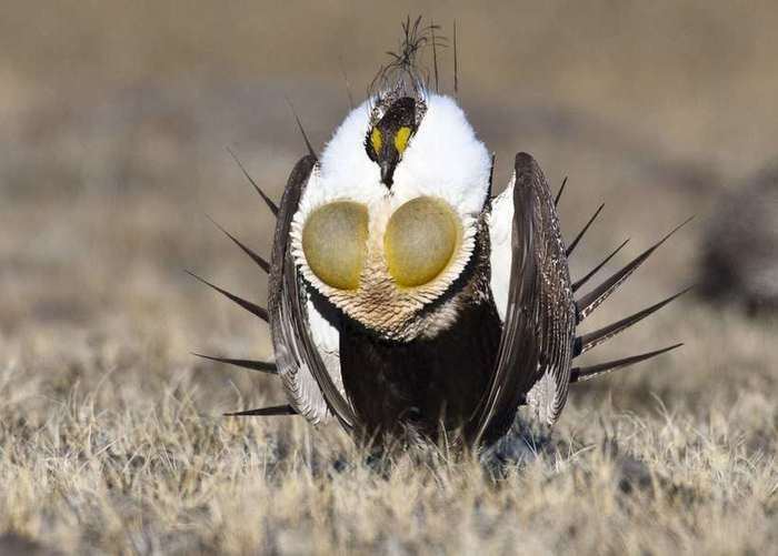 Greater-Sage-Grouse-lewis (700x501, 33Kb)