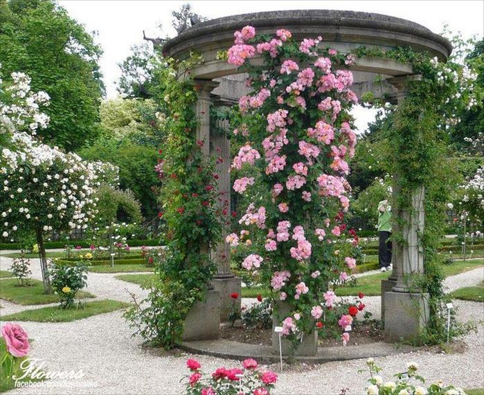 себя плетистые розы в ландшафте фото или друзьям