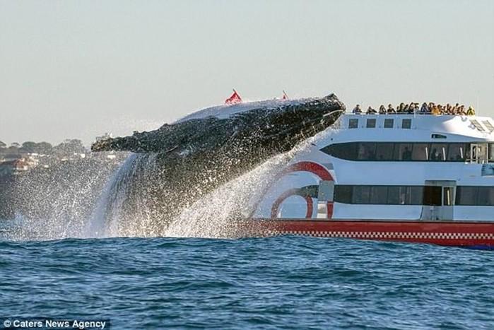 Фотограф дикой природы снял прыжок 20-тонного кита у побережья Австралии