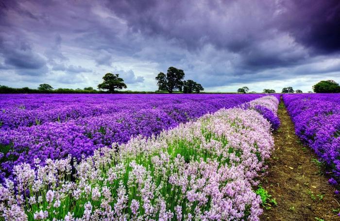 Lavender-fields1 (700x455, 430Kb)