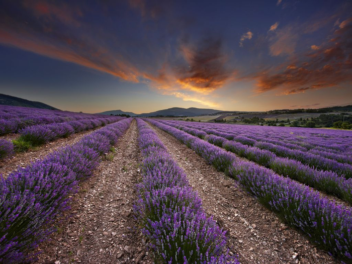 Lavender-fields3 (700x525, 429Kb)
