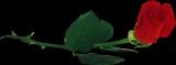 3906024_roza2 (160x59, 9Kb)