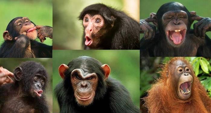 Мимика-обезьян (700x377, 43Kb)