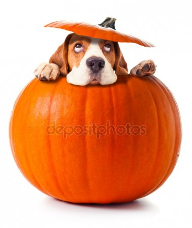 depositphotos_33486789-stock-photo-beagle-in-pumpkin (378x450, 21Kb)