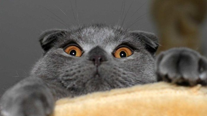 wallpaper-the-cat-is-a-best-types-of-britannicacom-the-grey-striped-scottish-fold-best-types-of-cat-britannicacom-klejonka-cat-grey-800x450 (700x393, 31Kb)