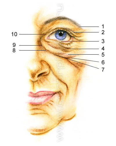 Анатомия старения верхних и нижних век (2) (400x500, 98Kb)