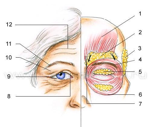 Анатомия старения верхних и нижних век (4) (500x421, 123Kb)