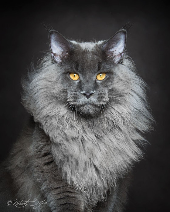 maine-coon-cat-photography-robert-sijka-64-57ad8f2c0277c__880 (560x700, 86Kb)