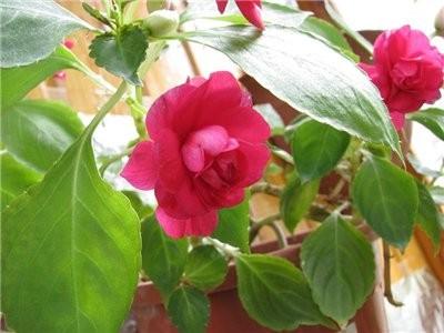 Фото и описание цветка дурман