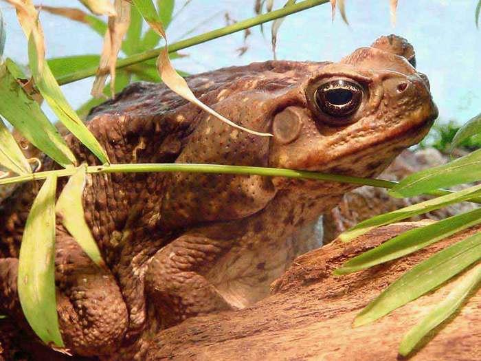 жаба (700x525, 58Kb)