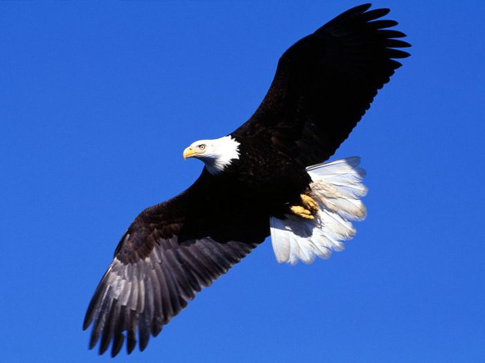 парящий орёл (700x525, 28Kb)